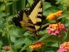 August 21, 2015 butterflies 014