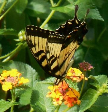 August 21, 2015 butterflies 021