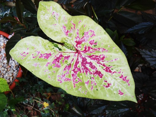 Caladium is another survivor. Last summer's plant hibernated in the garage all winter. Finally a leaf... in August?