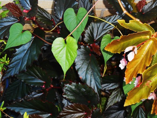 A stray Moonflower vine snakes across the Begonias.