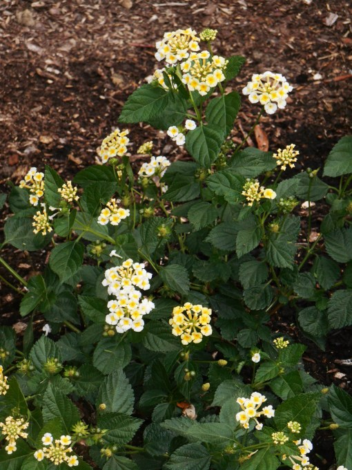 Lantana, 'Sunny Side Up' is a new hybrid expected to be as hardy as 'Miss Huff,' one of its parents.