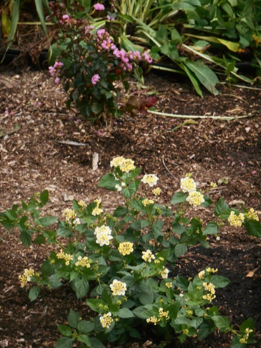 Newly planted Lantana, 'Sunny Side Up' near our new Crepe Myrtle, 'Delta Jazz.' It has been a busy weekend in the garden.