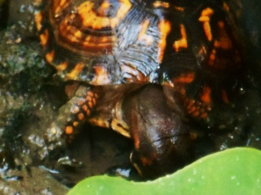August 29, 2015 turtle 001