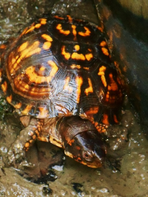 August 29, 2015 turtle 002