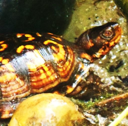 August 29, 2015 turtle 003