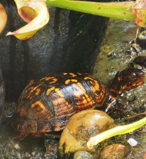 August 29, 2015 turtle 004