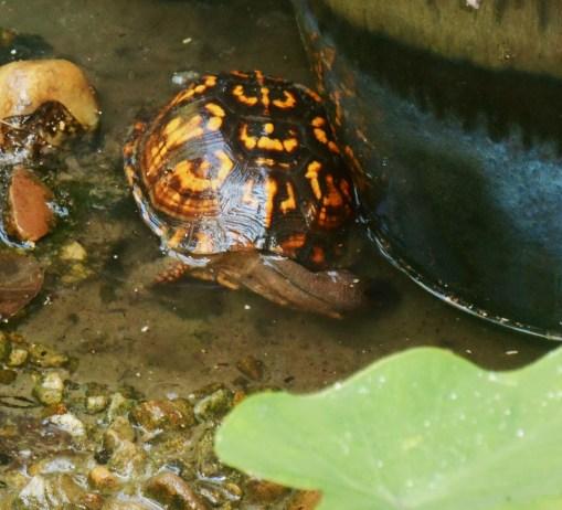 August 29, 2015 turtle 007