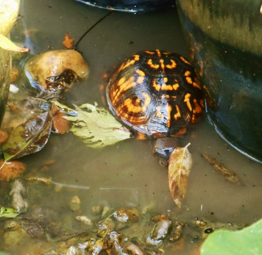 August 29, 2015 turtle 008