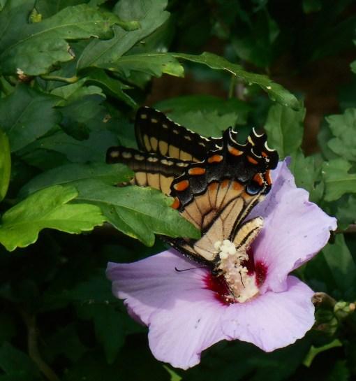 August 5, 2015 butterflies 006