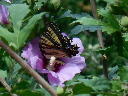 August 5, 2015 butterflies 012
