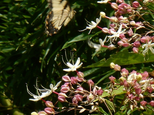 Eastern Tiger Swallowtail on Clerodendrum trichotomum, or Butterfly Tree.