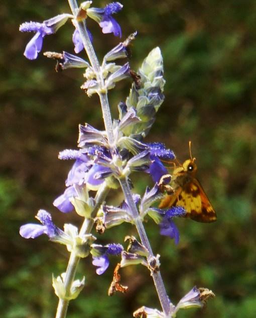 August 5, 2015 butterflies 036