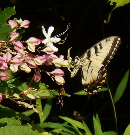 August 5, 2015 butterflies 042