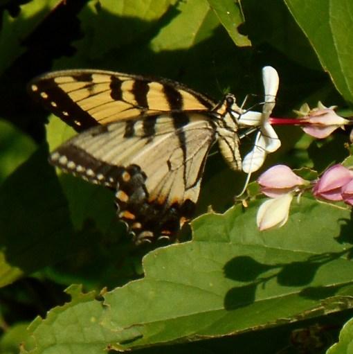 August 5, 2015 butterflies 044