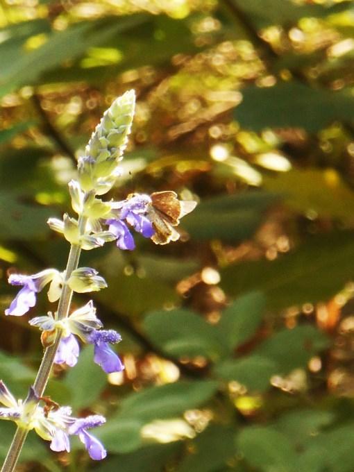 August 5, 2015 butterflies 048