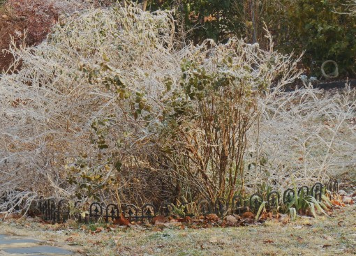 Our Lantana and rose bed last January after an ice storm.
