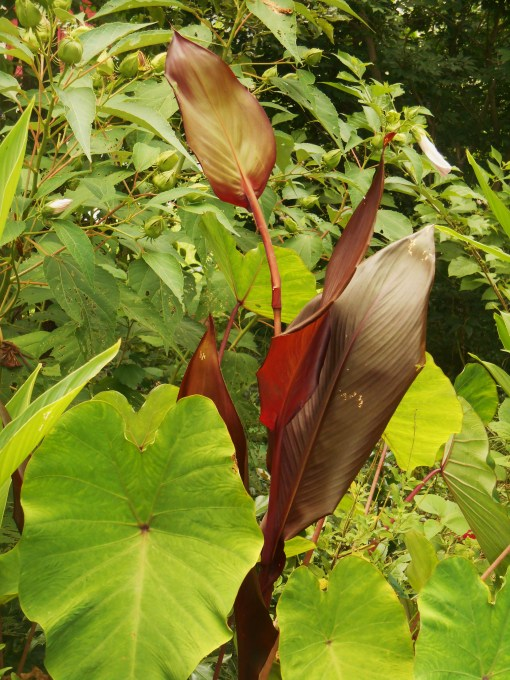 Colocasia growing with Canna lily