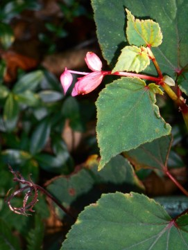 September 15, 2015 Begonias blooming 003