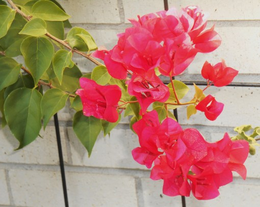 Bougainvillea normally blooms in the winter in more southern climates. Ours was just beginning to bloom as we had to bring it inside for autumn last year. We are glad to have these blooms early enough to enjoy outside.