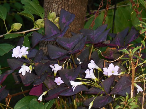 Oxalis blooms here all summer.