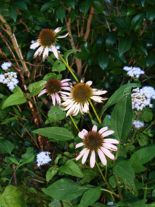 Native Echinacea, fading after weeks of bloom.