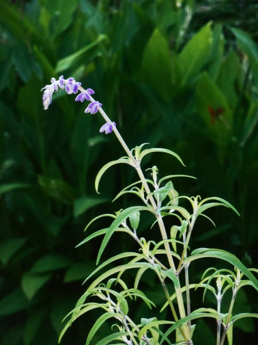 Mexican Bush Sage comes into bloom here in late September.