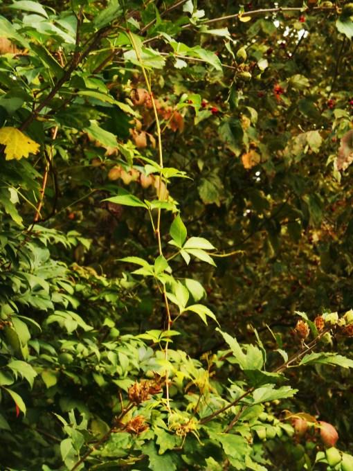September 23, 2015 foliage 005