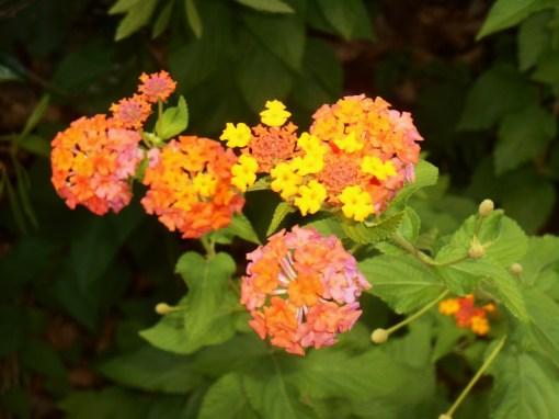 Perennial Lantana, 'Miss Huff'