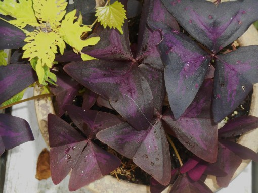 Oxalis has proven one of my favorites this season. It takes sun or shade, has lovely leaves and flowers, and roots very easily in water. The bag of little tubers proved a good investment.