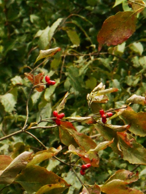 Dogwood berries feed many species of song birds.