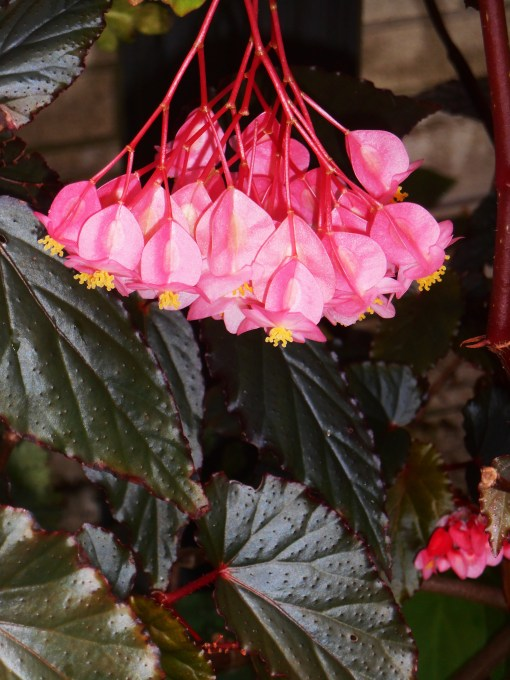 "Begonia, ""Arabian Sunset"""