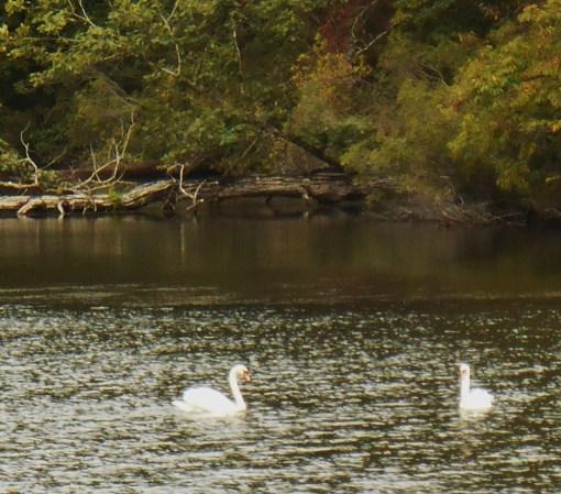 September 26, 2015 swans 001