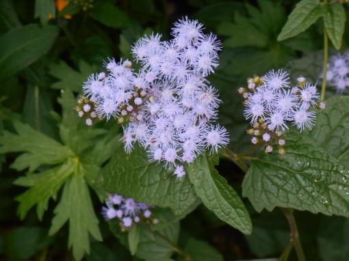 Blue Mist Flower, Conoclinium coelestinum