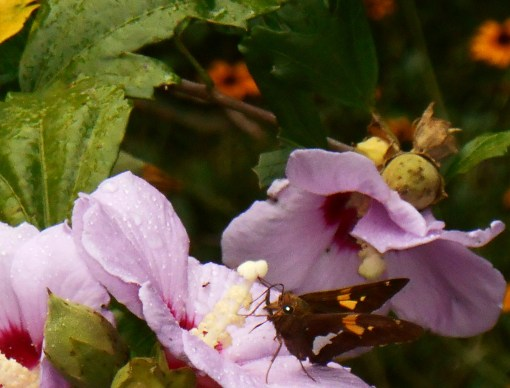 Rose of Sharon began its season of bloom in late May. It makes abundant seeds which feed our birds all winter long.