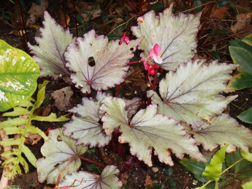 Time for this Begonia to come back inside for another winter.