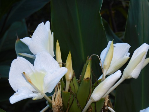 Our Butterfly Ginger Lilies fill the air with their sweet perfume.
