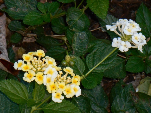 Many of our Lantana prove hardy. We expect this new cultivar to survive winter in place out of doors.