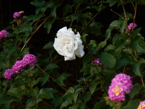 Another rose, well crowded now by an exuberant Lantana.