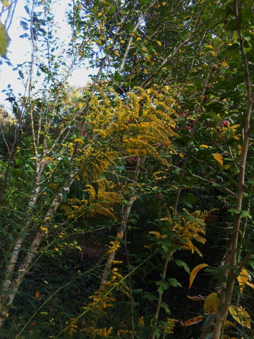 Goldenrod volunteers in odd places around the garden, adding its golden glow to the changing leaves.