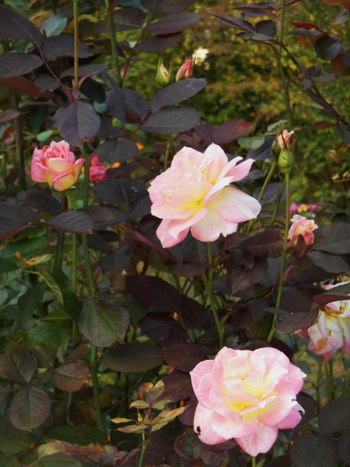 October 14, 2015 Camellias 023