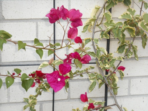 These Bougainvillea lives in our garage once nights grow cold.