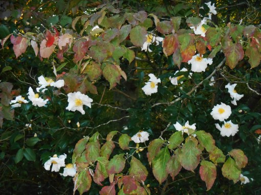 Camellias growing through Dogwood
