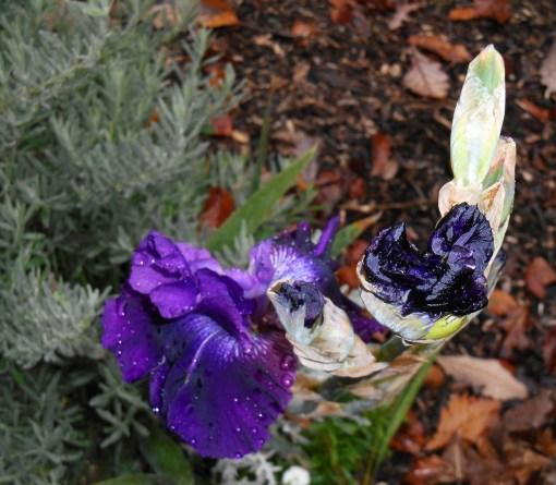 Reblooming Iris 'Rosalie Figge'