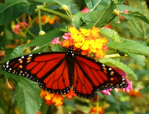 October in our garden and the butterflies cover our Lantana.