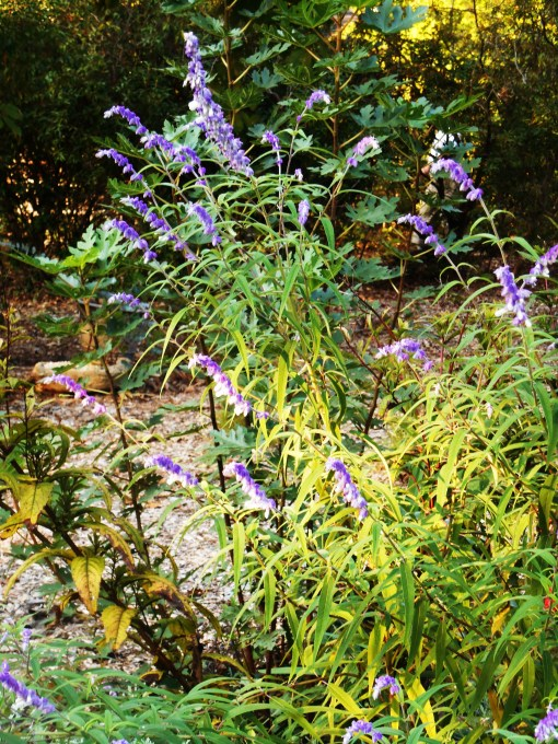 Leaves fall steadily in our garden even as late bloomers, like this Salvia, are in their prime.