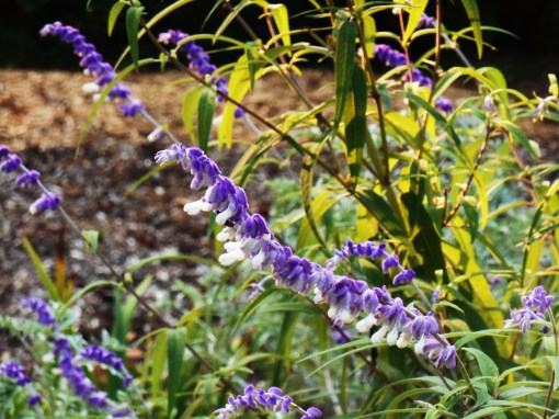 Salvia leucantha, Mexican Bush Sage