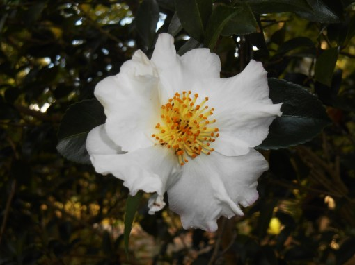 The first Camellias of the season bloomed this week.