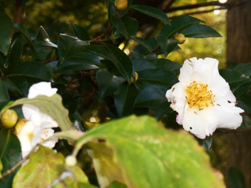 October 9, 2015 First Camellias 004