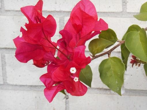 October 9, 2015 First Camellias 023