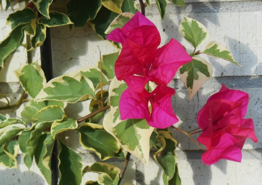 Bouganvillea begins its season of bloom in early autumn, but must come indoors before frost. It is a tender woody perennial which won't survive our Virginia winters out of doors.